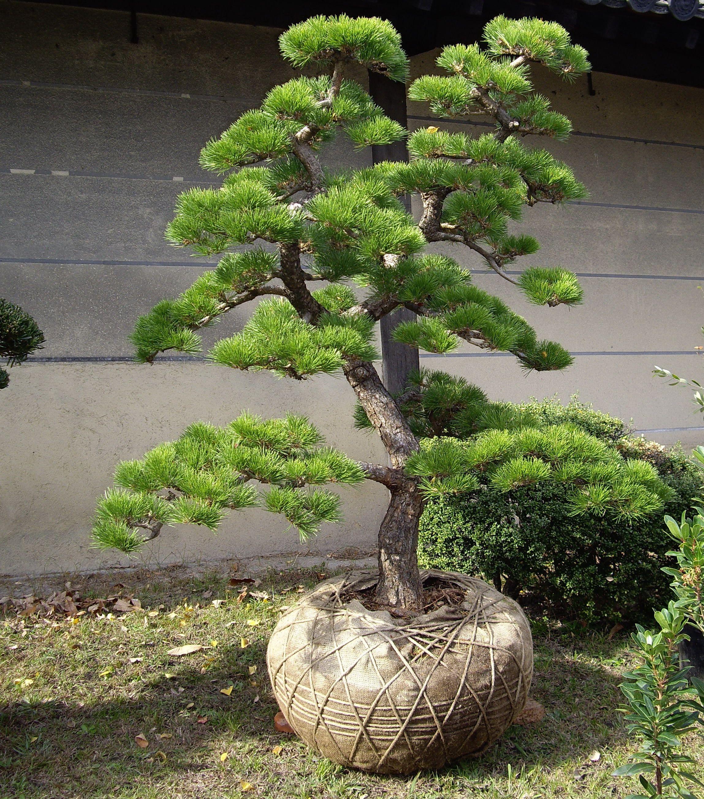 Pin japonais garden niwaki pruning garden niwaki for Bonsai hydrokultur