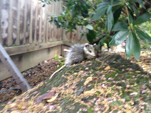 Baby possum in my yard :)   Plants and Gardens   Pinterest