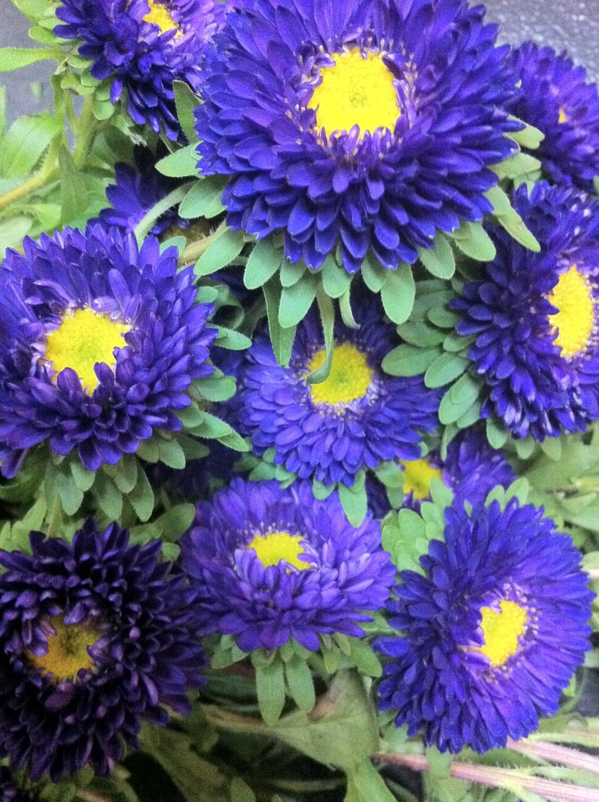 Dark Blue Asters Asters Pinterest Aster Purple Garden And