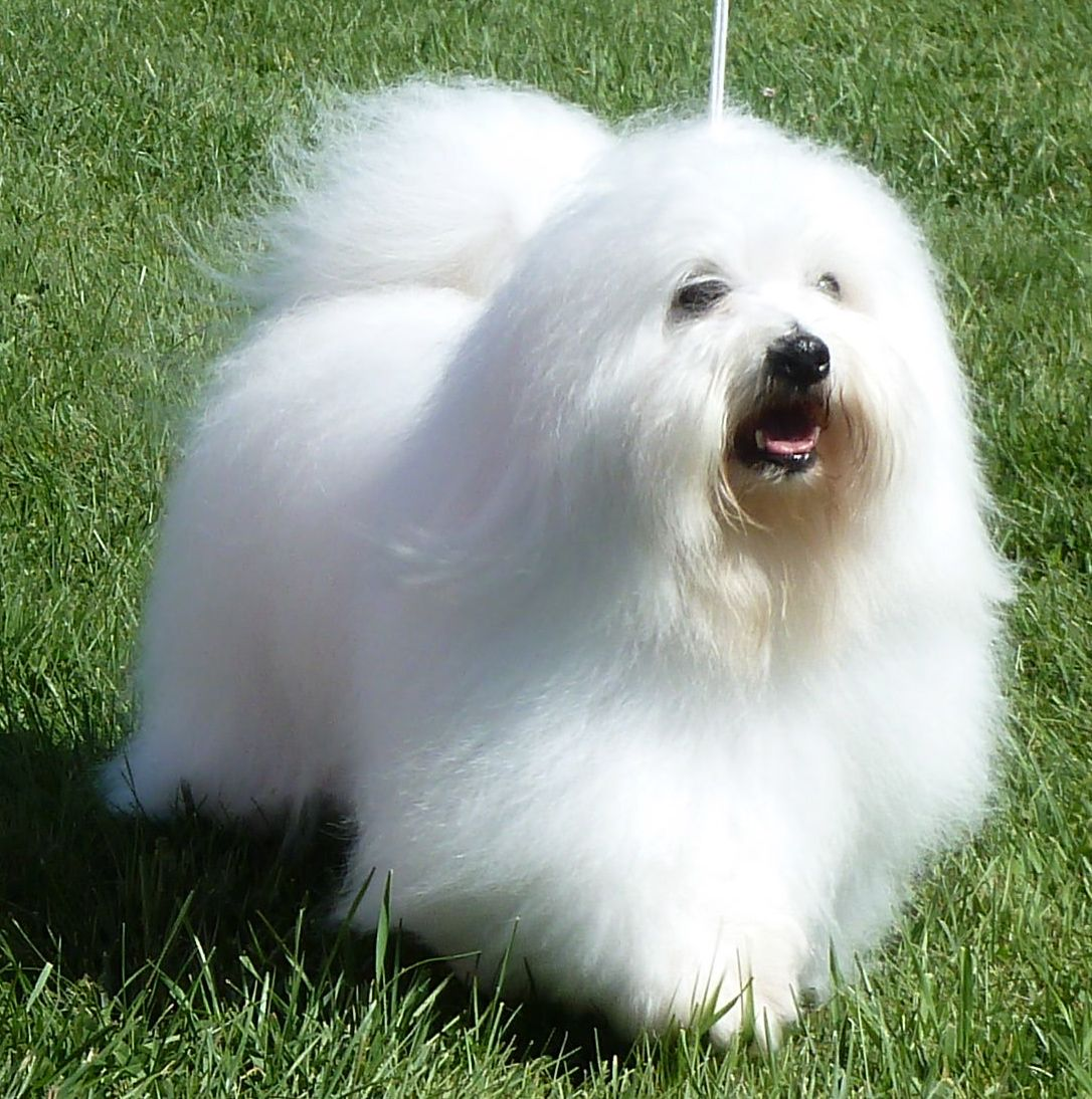 Coton De Tulear Coton De Tulear Dogs Coton De Tulear Dogs