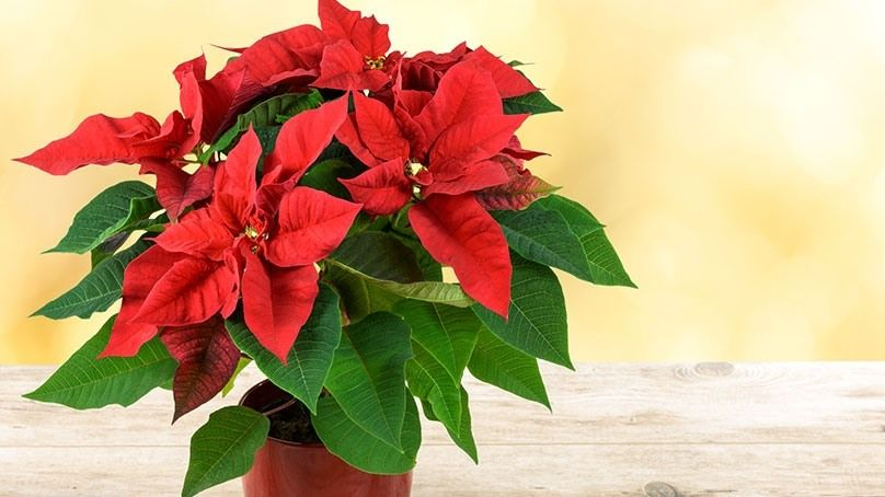 8 Clever Ways To Decorate With Poinsettias Poinsettia Poinsettia Plant Plant Decor