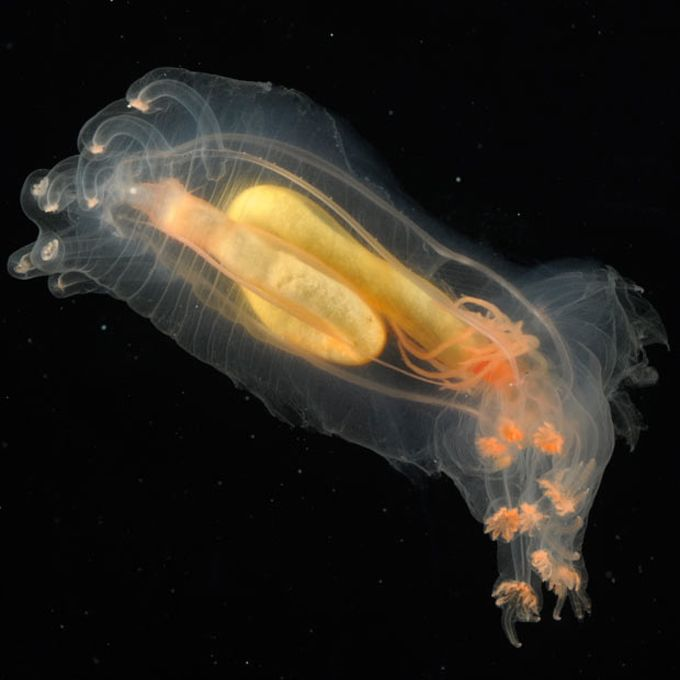 New Transparent Creatures Discovered In Atlantic Ocean Benthic Holothurian Deep Sea Creatures Deep Sea Life Ocean Creatures