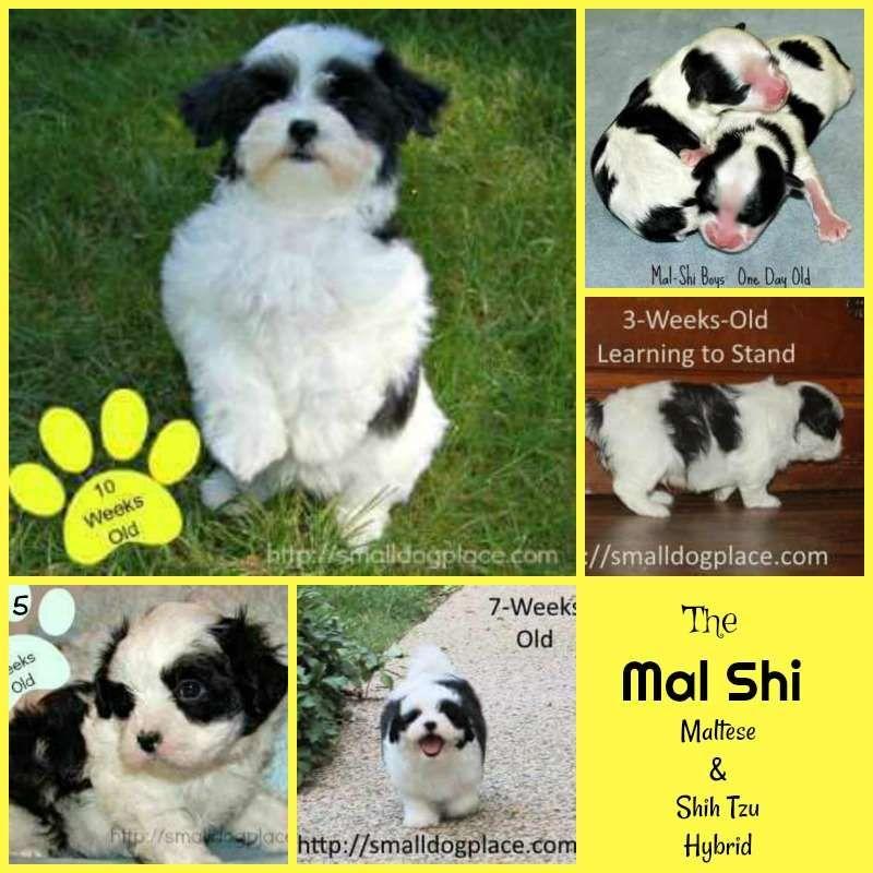 Shih Tzu And Maltese Designer Dog Shih Tzu Maltese Dogs Dogs