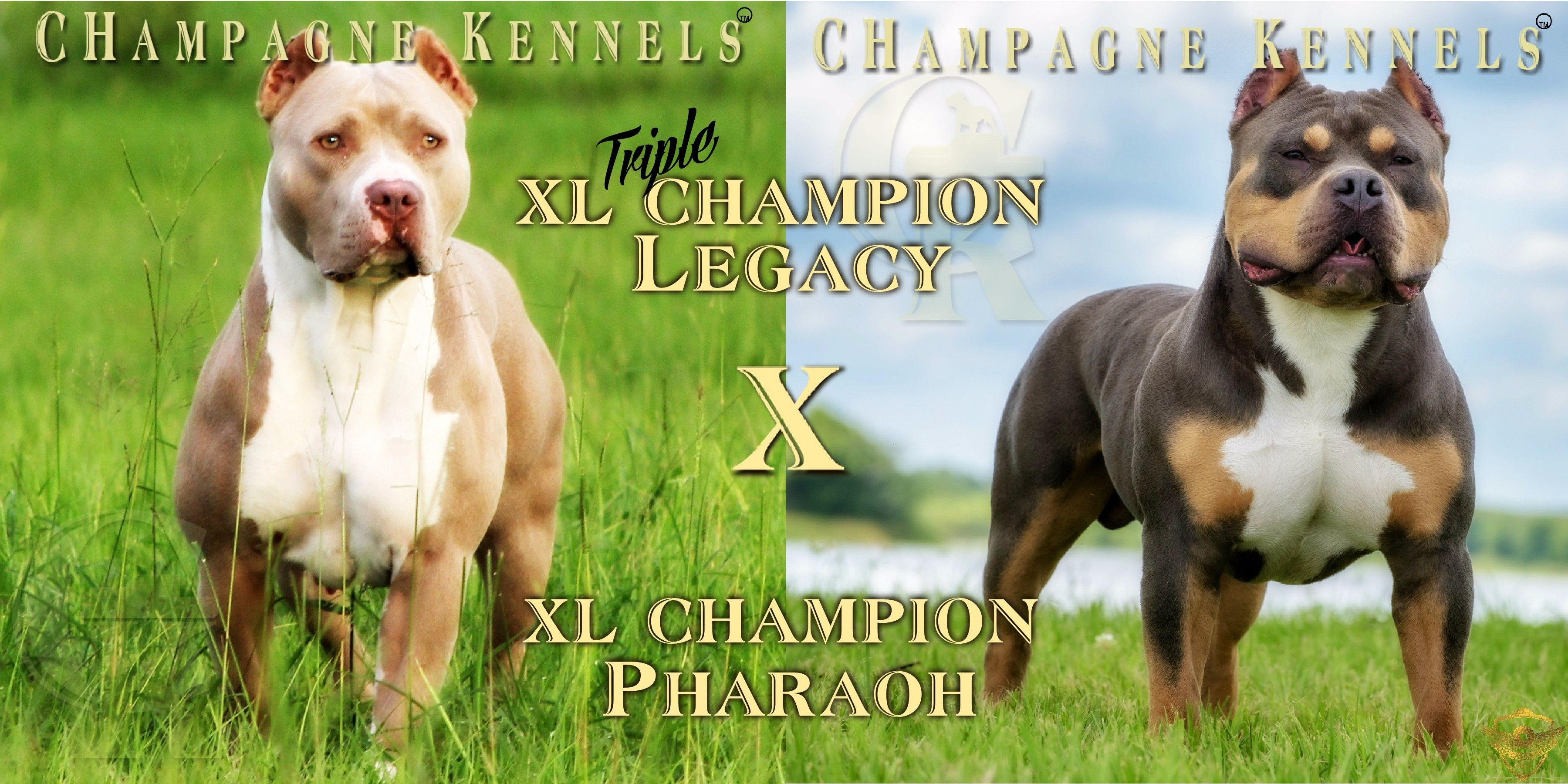 Chocolate Tri Color Pitbull Puppies for Sale