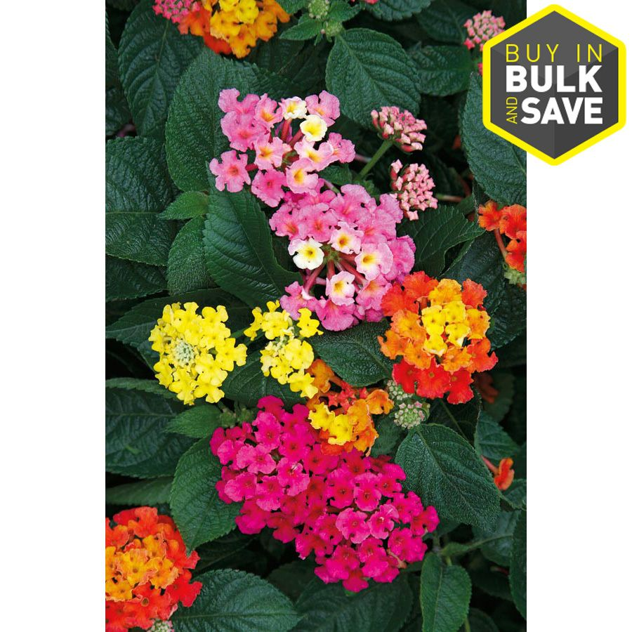 1 Quart In Pot Lantana L6708 Lowes Com Lantana Perennials Plants