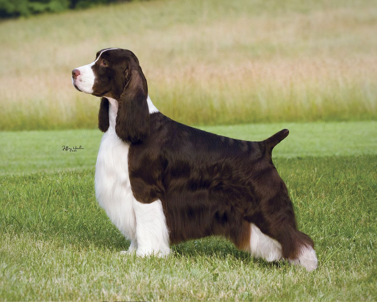 English Springer Spaniel   Gch Ch Wynmoor Champagne Supernova love this dog