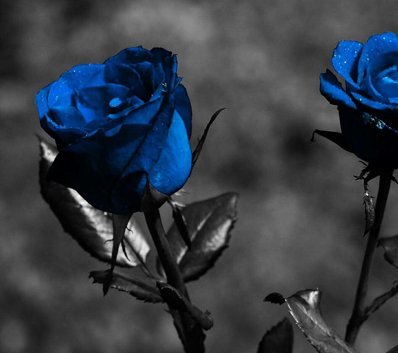Pin By Lilblackrose On Lindas Blue Flower Wallpaper Flower Wallpaper Hd Blue Roses Wallpaper
