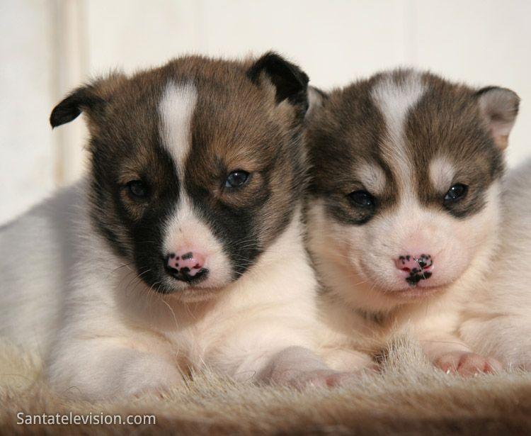 Cuccioli di husky siberiani nella Lapponia finlandese