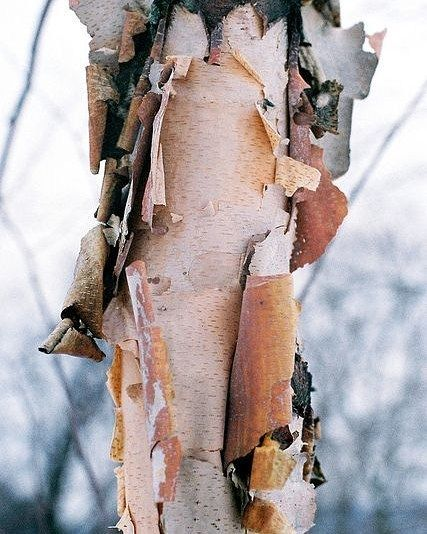 Oree On Instagram Peeling Bark Off A Birch Tree Time To Shed That Winter Baggage If You Try To Tackle Everything Wrong In Tree Textures Texture Birch Tree