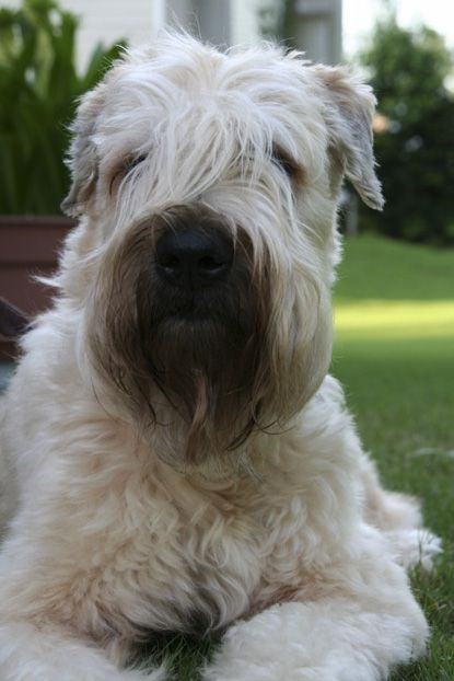 Riggs A Soft Coated Wheaten Terrier From Smyrna Georgia Soft Coated Wheaten Terrier Hog Dog Best Dogs