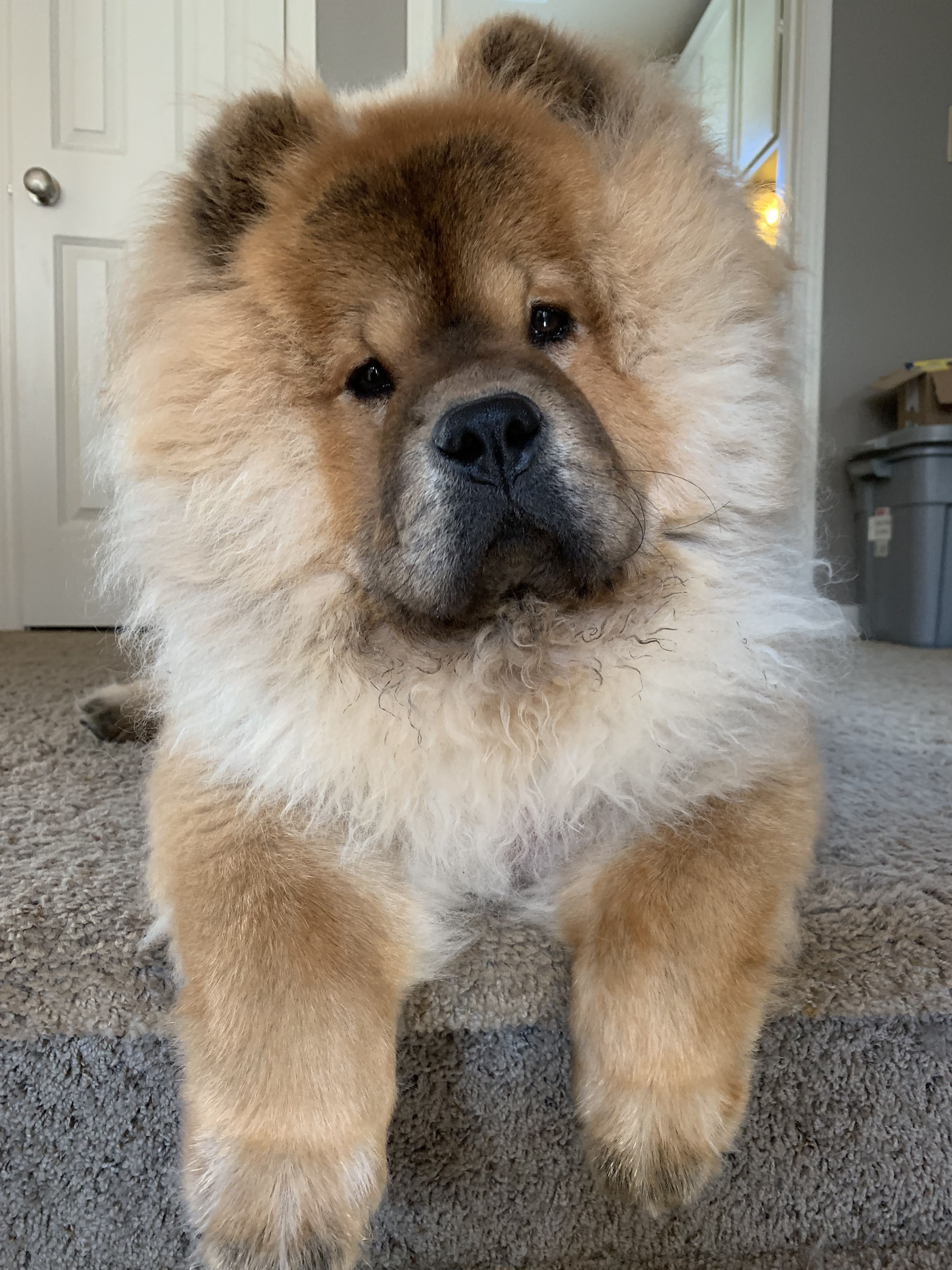 Pin By Deana Simmons Faust On Chow Chows Chow Chow Dogs Chow 10 Cool Facts About Chow Chows Mom Com Chow Chow Dog Breed In In 2020 Chow Dog Breed Chow