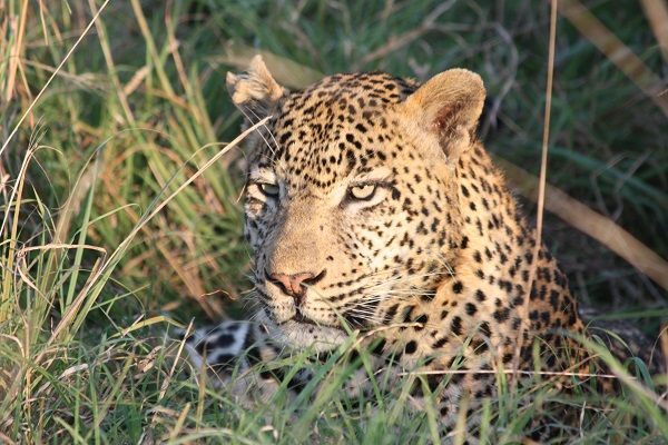 Leopard from Londolozi, South Africa |  Gail Rosenberg | Absolute Travel Photo Contest (#Londolozi, #safari, #leopard, #africanwildlife)