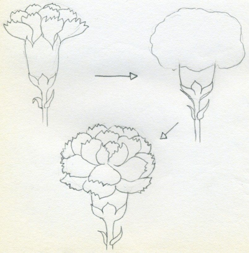 How To Draw Carnation06 Jpg 805 821 Carnation Drawing Flower Drawing Tutorials Flower Drawing
