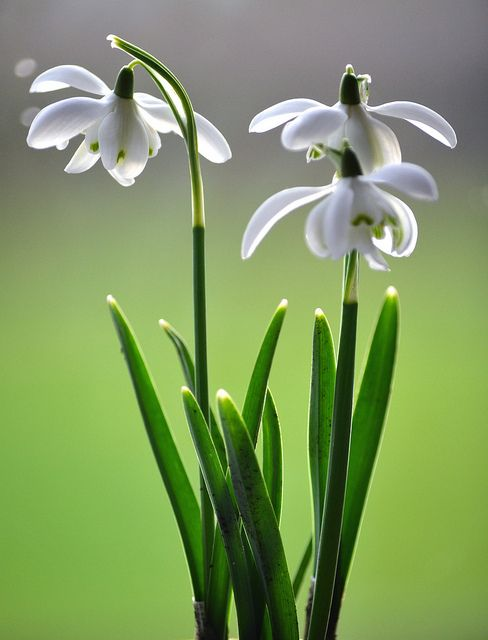 Snowdrops January Flower Birth Month Flowers White Flowers