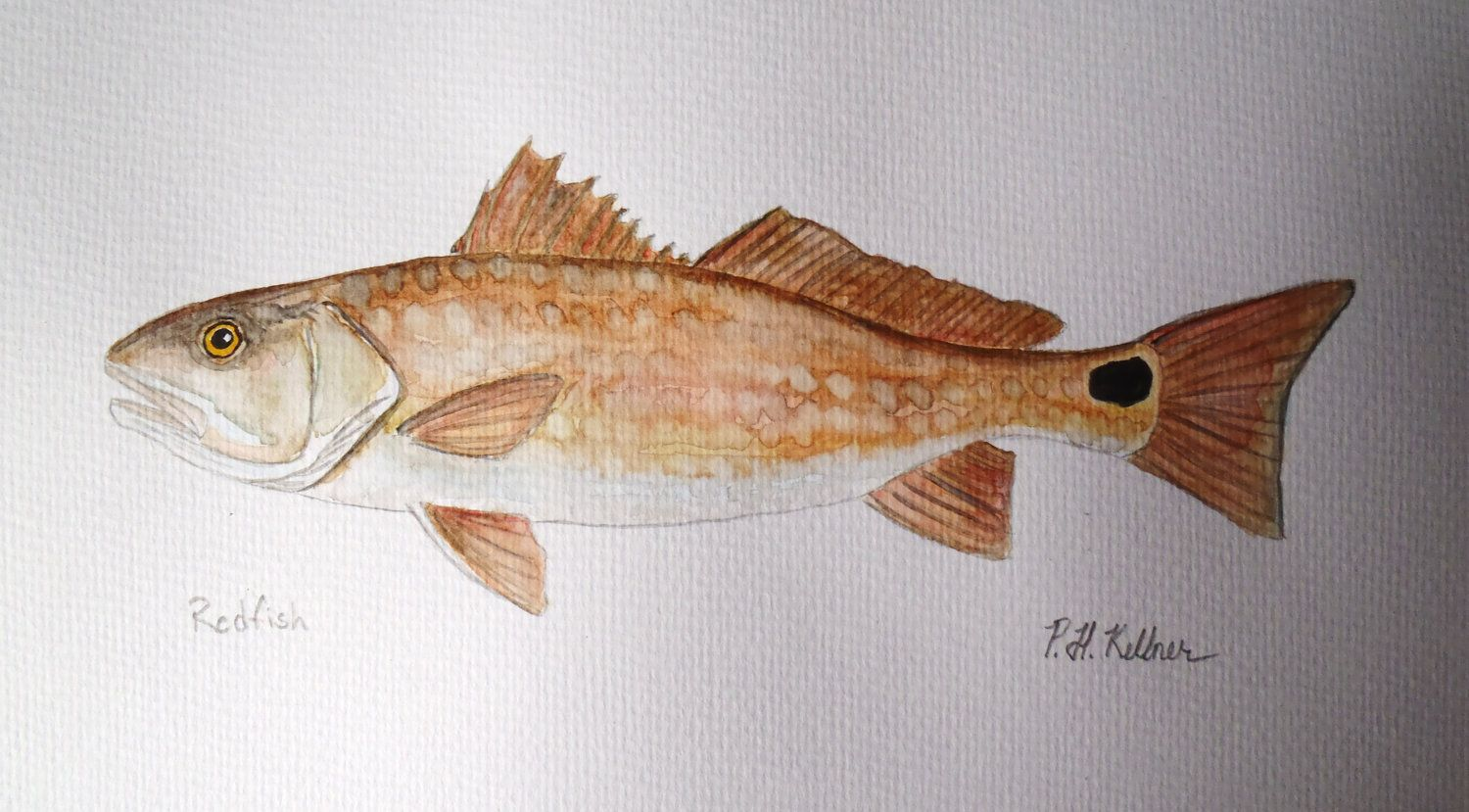 RED DRUM CHANNEL BASS REDFISH FISH PAINTING FISHING ART REAL CANVAS PRINT