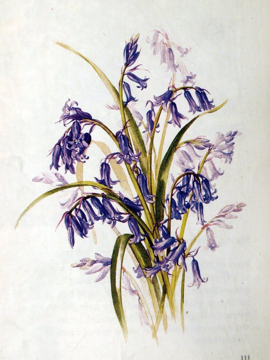 Bluebells Botanical illustration, Botanical illustration