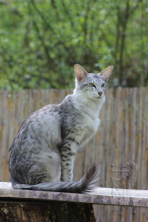 Pin By Piece Of Moonshine On Warrior Cats Silver Tabby Cat Cat Colors Cute Cats Kittens