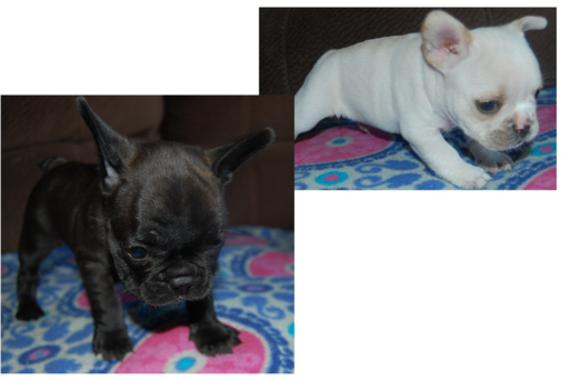Litter Of 2 French Bulldog Puppies For Sale In Stockton Ca Adn 39450 On Puppyfinder Com Gender Male S Puppies For Sale French Bulldog French Bulldog Puppies