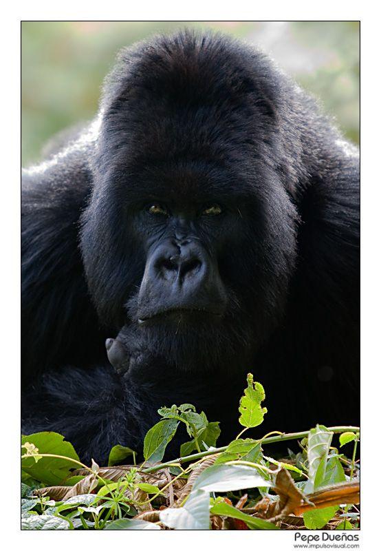 Gorila - Rwanda