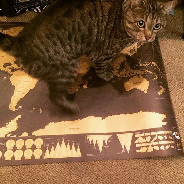 It's not just humans that love Scratch Map posters, @fahleesha caught her kitty caught red pawed... #ScratchMap #cat #cats #catsofinstagram #caturday #kitty #catstagram #instacat #catlover #catlovers #catoftheday #catsagram #catlove #cats_of_instagram #map #maps #TravelLife #poster #LuckiesOfLondon