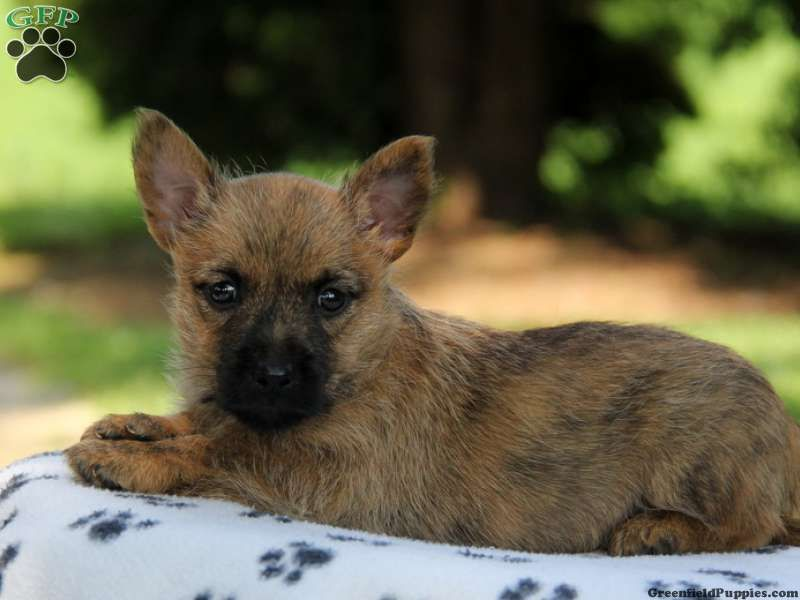 Renfrow Cairn Terrier Puppy For Sale In Pennsylvania Cairn