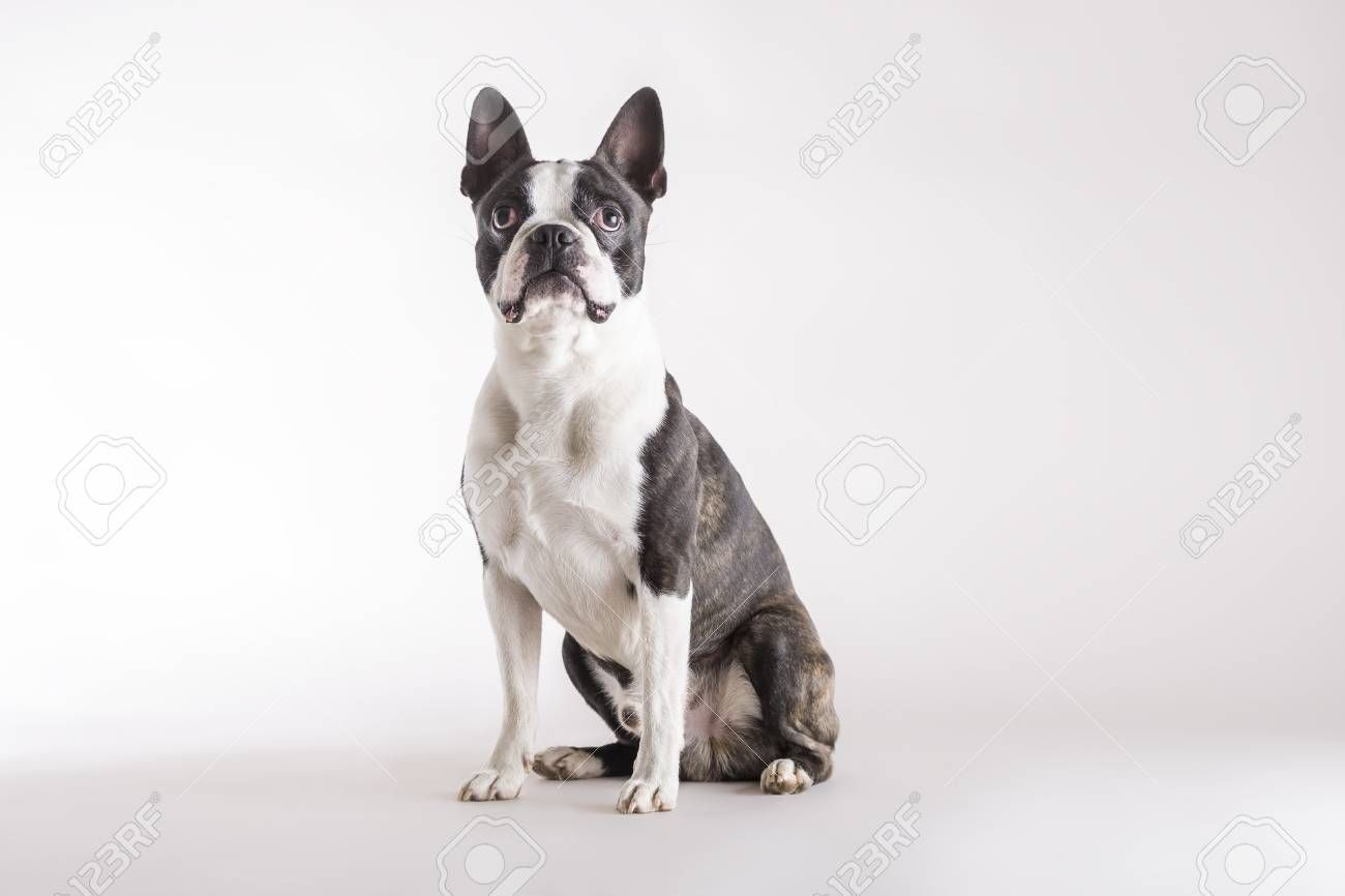 Loyal Boston Terrier Sitting On Grey Watching Looking Upwards With An Alert Intent Expression With Copy Space Stock Photo In 2020 Boston Terrier Loyal Logo Design