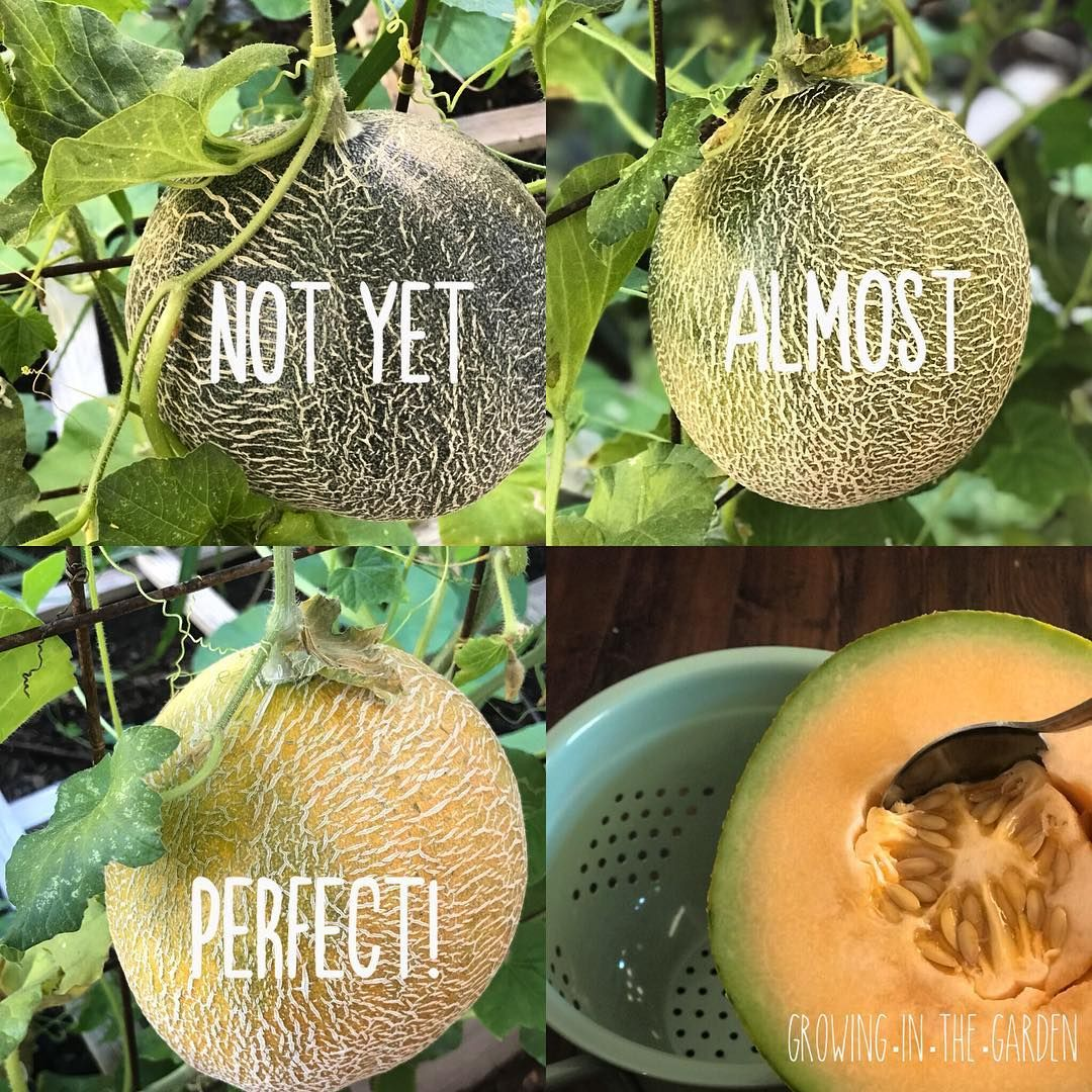 The Best Thing About Growing Your Own Cantaloupe Is You Can Pick Them At The Peak Of Sweetness O Vegetable Garden Raised Beds Growing Vegetables Veggie Garden