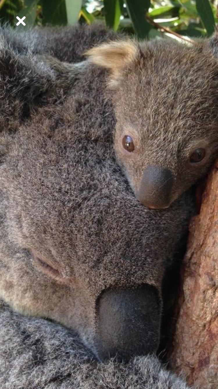 Pin de Paola Frutos en koala | Pinterest