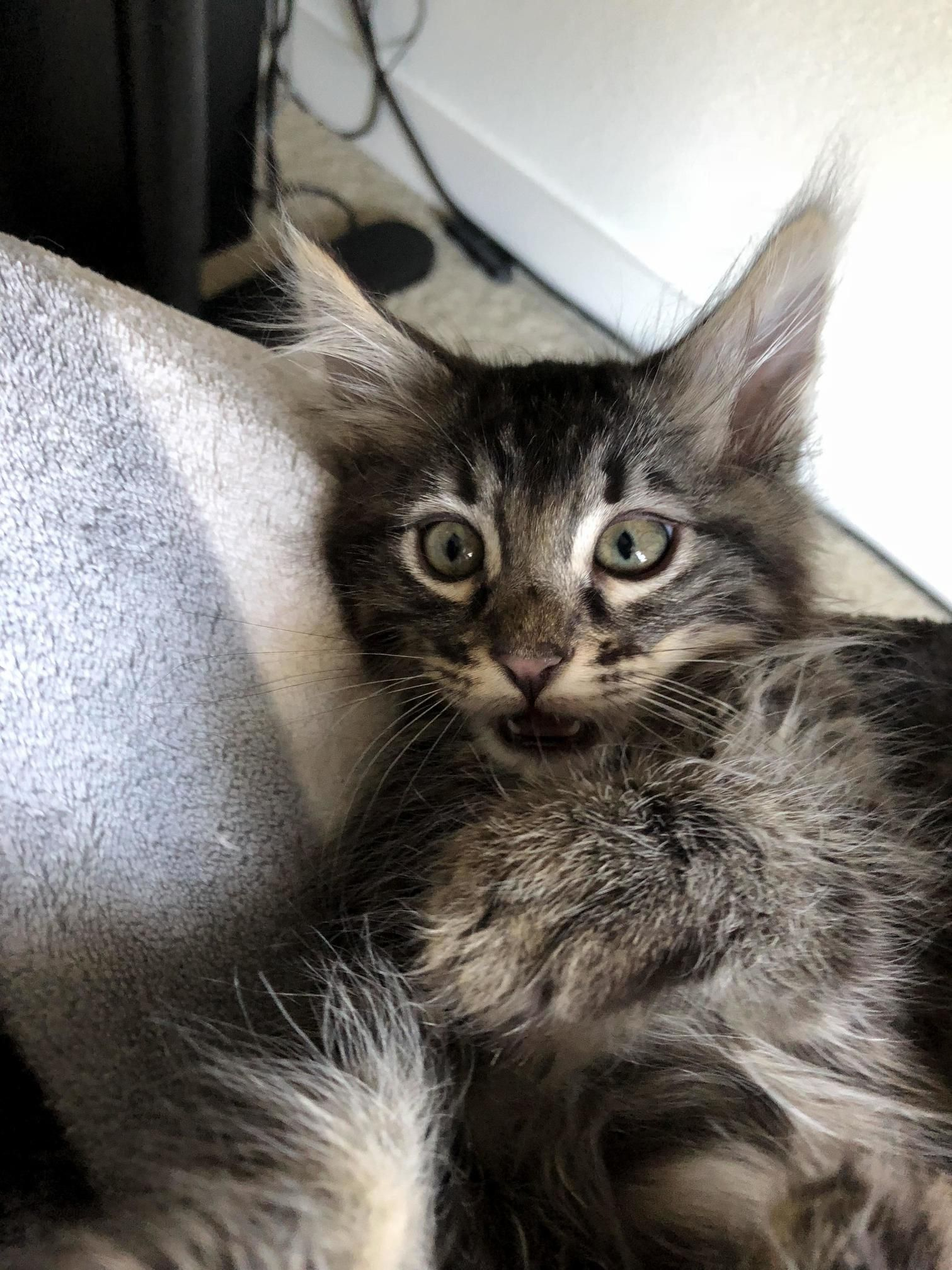 My kitten was not happy about being woken up Cute cats