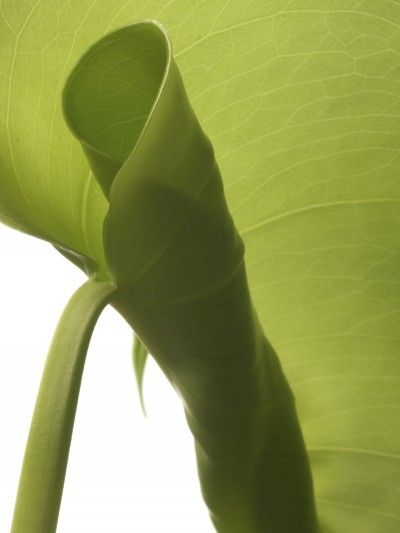 Leaf Curl On Rubber Plants What Causes Rubber Plant Leaves To Curl Plant Leaves Rubber Tree Plant Trees To Plant