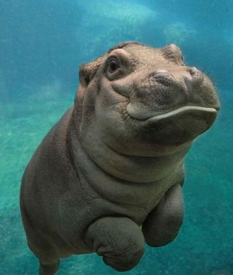 Underwater picture of a Baby Hippo #babyhippo