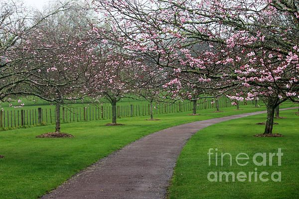 Cherry Blossom Path By Gee Lyon In 2021 Cherry Blossom Blossom One Tree Hill