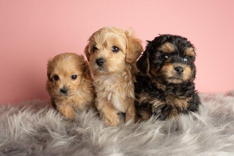 Maggie harvey 2020 litter maltipoo puppies for sale in