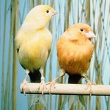 Google Image Result for http://cache2.allpostersimages.com/p/MED/61/6156/JMJG100Z/posters/hans-reinhard-two-canaries-sitting-on-a-pole.jpg
