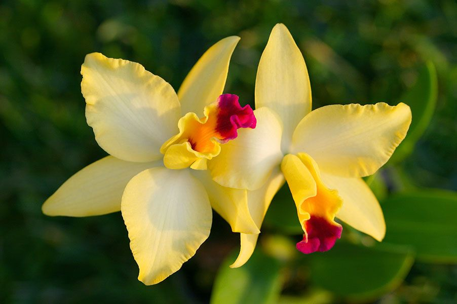 Pin by marilyn jacobs on butterfly tattoos pinterest yellow yellow orchids in india flowering and ornamental trees in india mightylinksfo