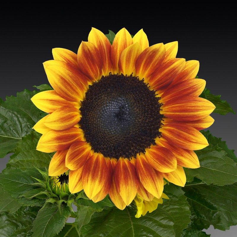 Sunflower Sunsation Flame Wholesale Flowers Florist Supplies Sunflower