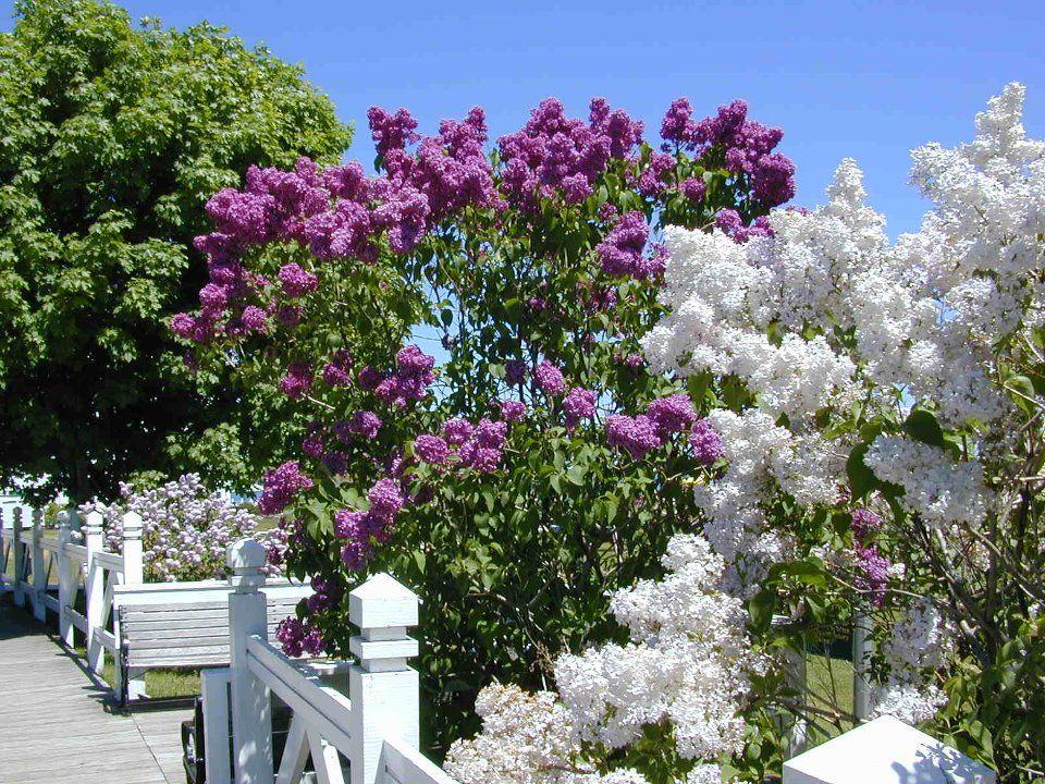 A lilac garden on Mackinac Island.....Lilac Festival