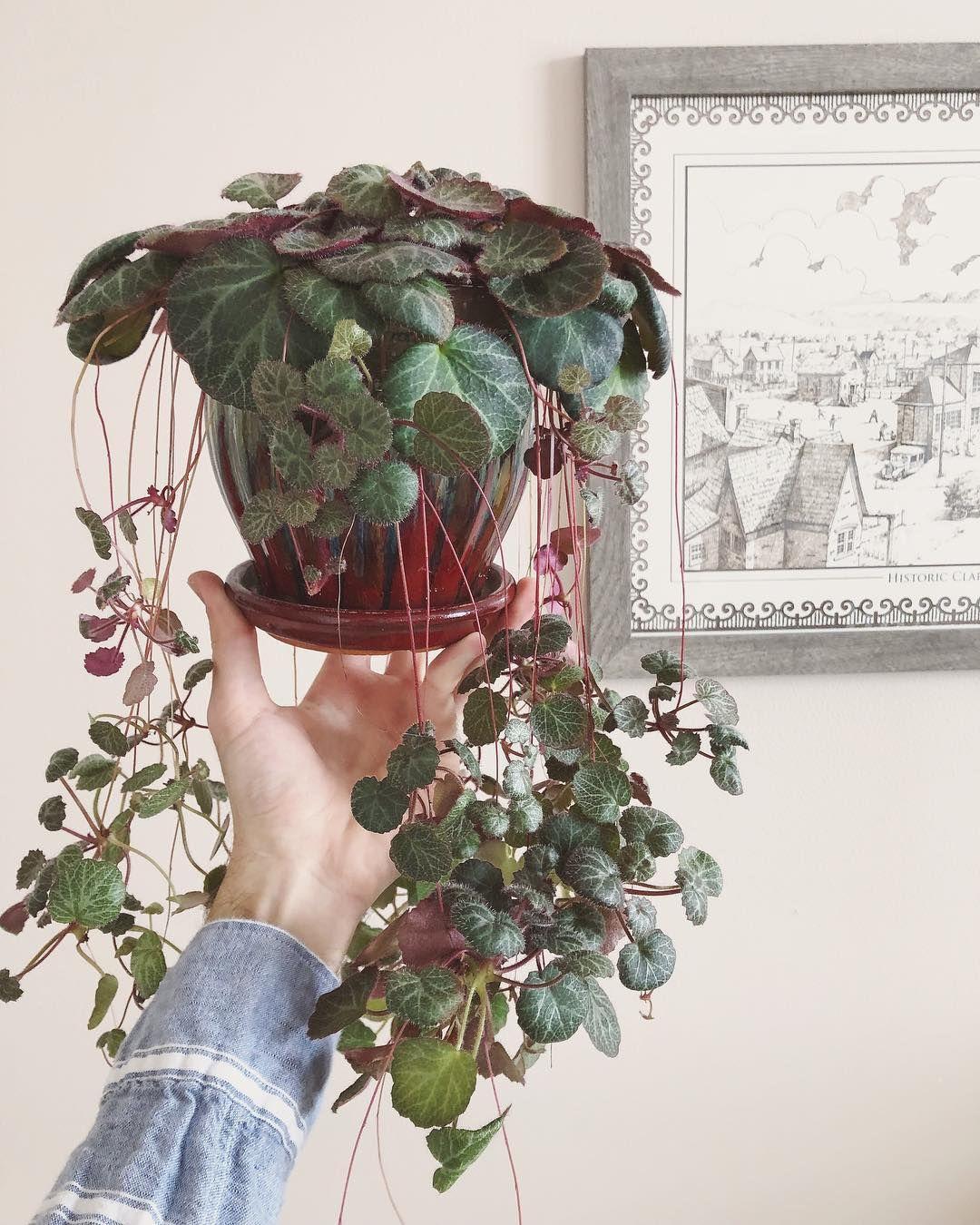 Saxifraga Stolonifera Strawberry Begonia Plants Hanging Plants Pretty Plants