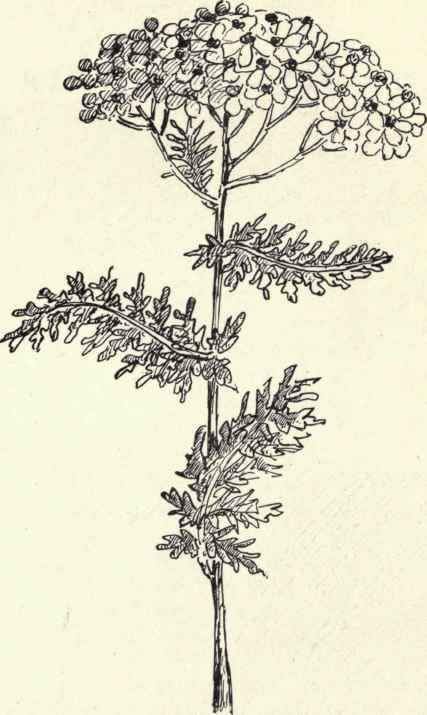 Common Yarrow Milfoil Achillea Millefolium Yarrow Flower Flower Drawing Plant Sketches