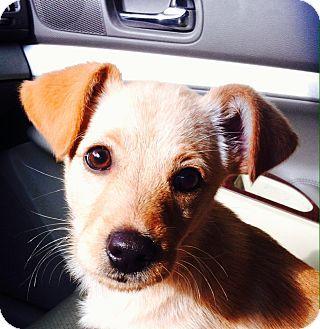 Minnetonka Mn Pomeranian Golden Retriever Mix Meet Roxy A Puppy For Adoption Http Www Adoptapet Com Pet 11968006 Minne Pets Puppy Adoption Pet Adoption
