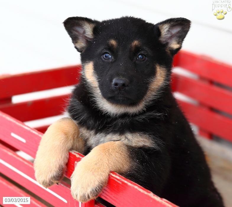 German shepherd puppy for sale in pennsylvania german
