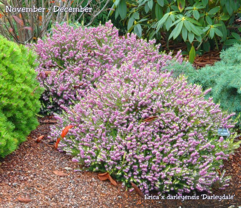 Darley Dale Heath Year Round Colors Winter Plants Heather Gardens