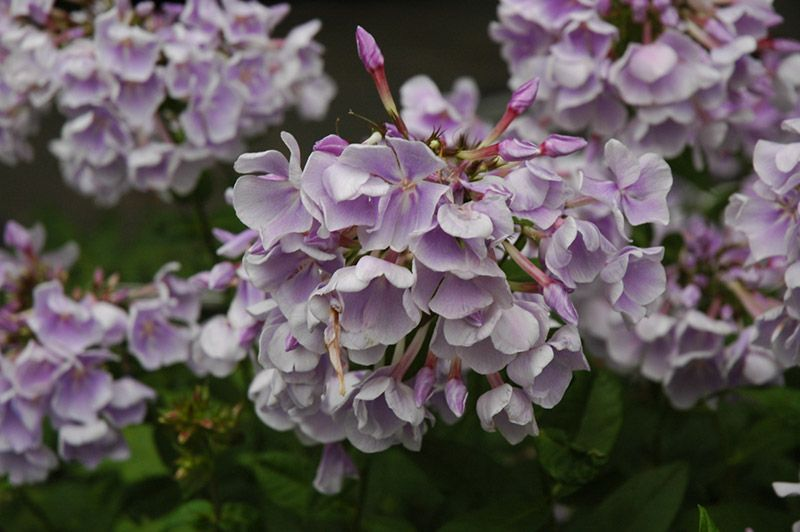 """Franz Schubert Garden Phlox (Phlox paniculata """"Franz Schubert"""") in St Paul Minneapolis Twin Cities Metro Minnesota at Linder's Garden Center, 2 feet, partial shade, blooms early summer to early fall"""