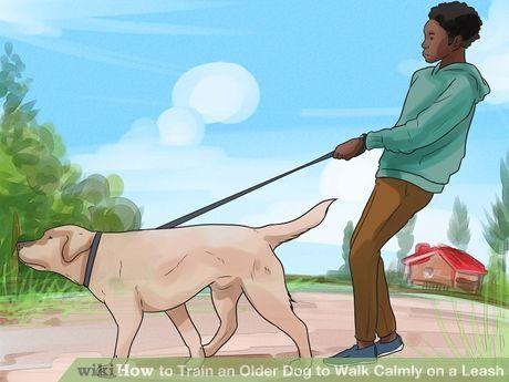 Train An Older Dog To Walk Calmly On A Leash Dog Training