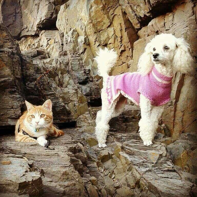 Poodle y su hermano gatito
