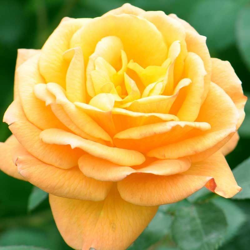 Good As Gold Hybrid Tea Roses Roses Hybrid Tea Roses Care Hybrid Tea Roses Tea Roses
