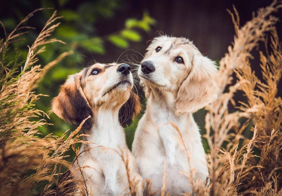 Saluki Puppies For Sale Akc Puppyfinder Saluki Dogs Saluki Puppy Beautiful Dogs