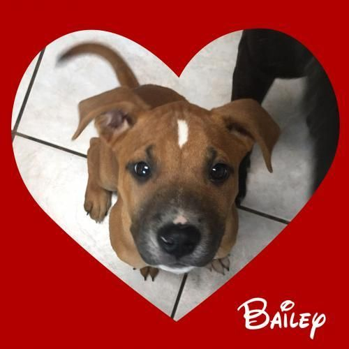 Dogs for Adoption Petfinder Boxer terrier mix, Dogs