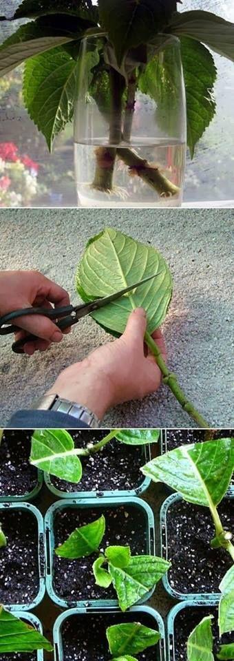 61fcb8cd03d2bb7b832ab61e553535a6 - How To Take Hydrangea Cuttings Gardeners World