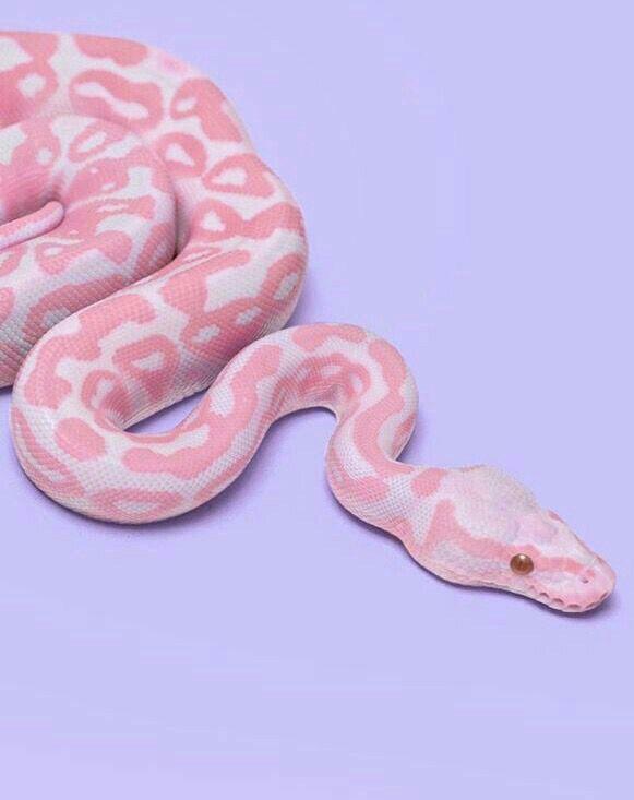 Morph Banana Ball Python | I want one!!! | Pink, Pink aesthetic